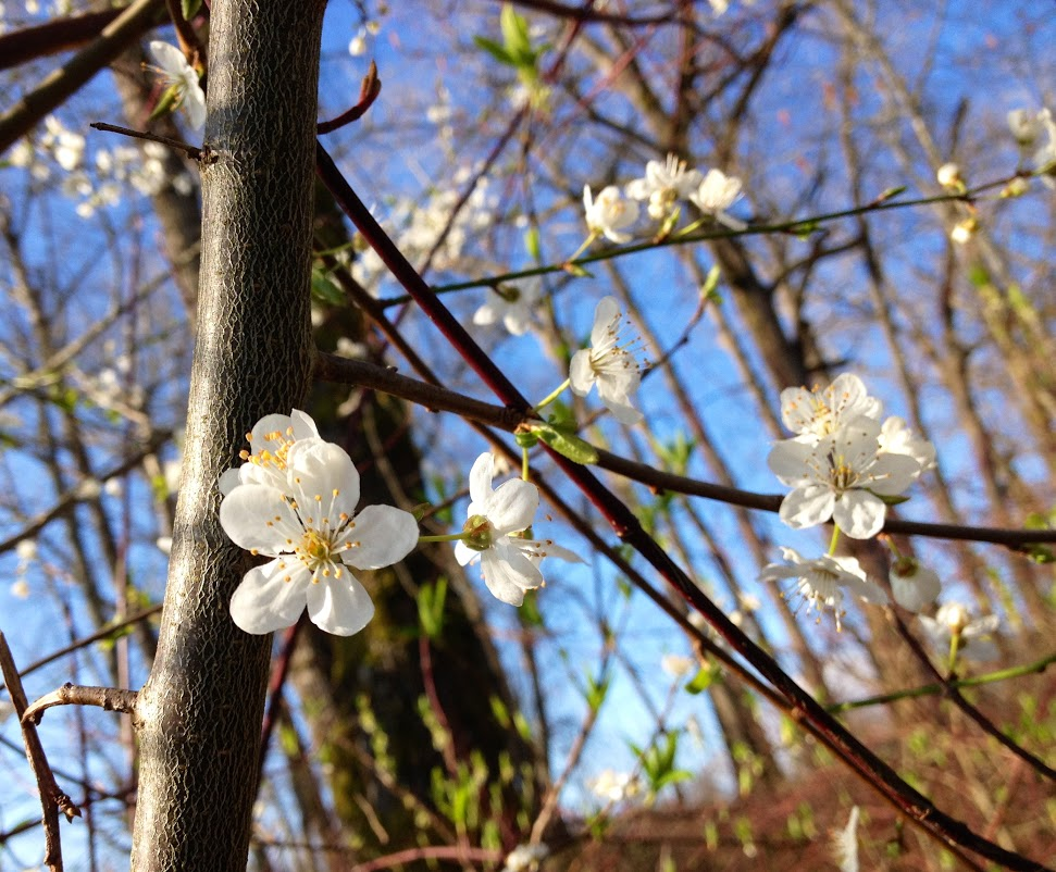 Spring blossoms at Scudder Pond. Photo credit: Holly Roger