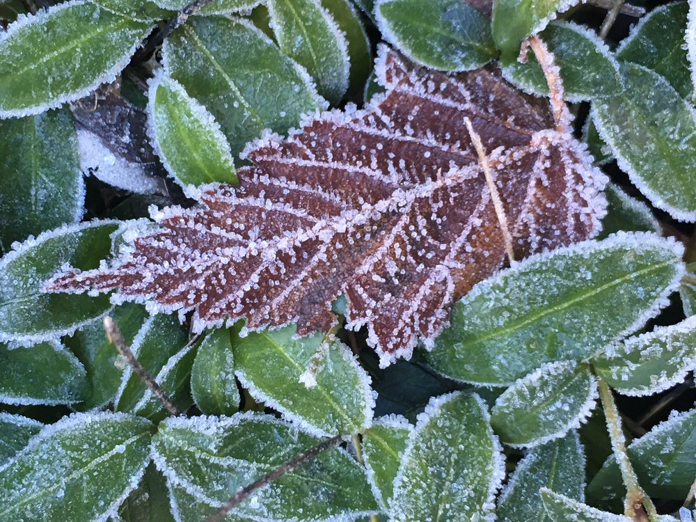 Frosty leaves. Photo Credit: Holly Roger.