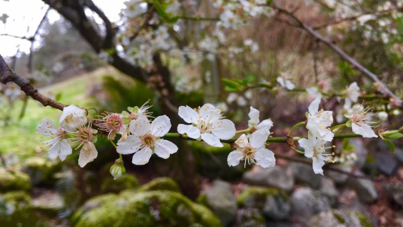 Spring blossoms, Woodstock Farm, Bellingham. Photo Credit: Holly Roger