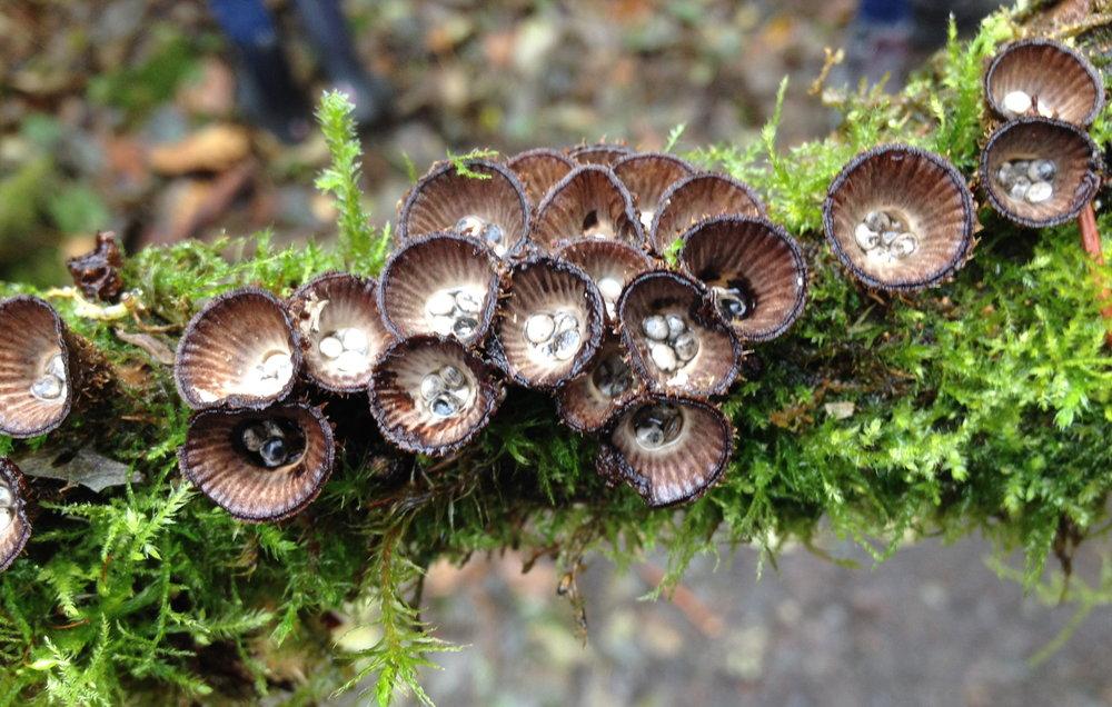 Bird's nest fungi. Photo: Holly Roger