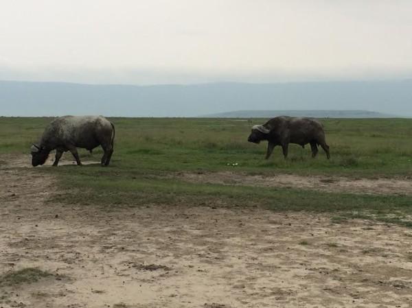 Buffalos-600x449.jpg