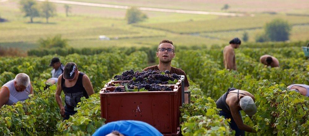 grape picking at Eric Mallet