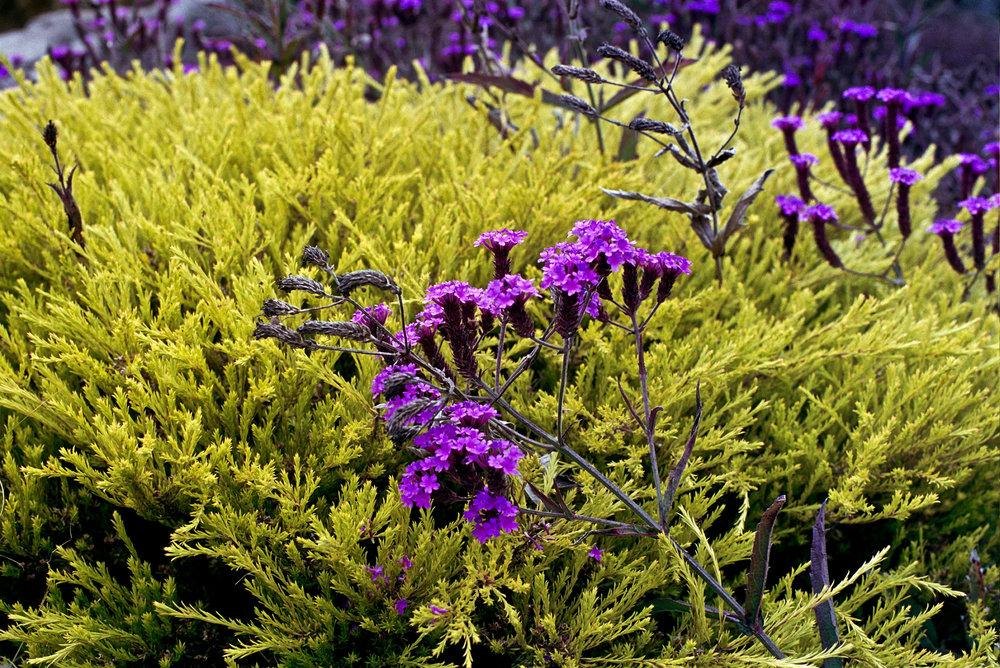 Coastal Flowers  Olympus OM2n, 50mm f/1.4 Zuiko on Kodak Portra 400