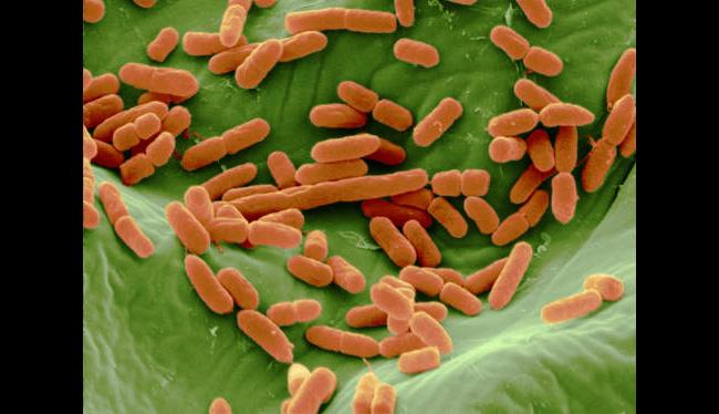 Escherichia coli (E.coli) Bacteria