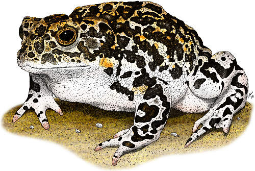 Yosemite Toad - BT7780 ©Roger Hall/Science Source