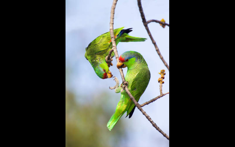 Red Crowned Amazon Pair - BJ9563 ©Anthony Mercieca/Science Source