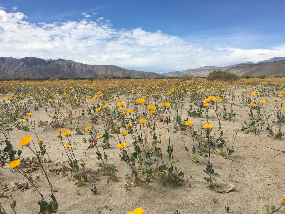 Wild flowers shooting toward the sun in Borrego Springs, California