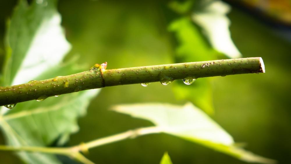 Dauwdruppels fotograferen - dauwdruppels aan een tak - zon staat voor me