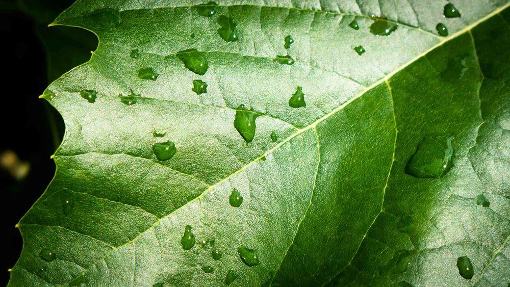 Dauwdruppels fotograferen - druppels op blad van plataan - zon rechts voor me