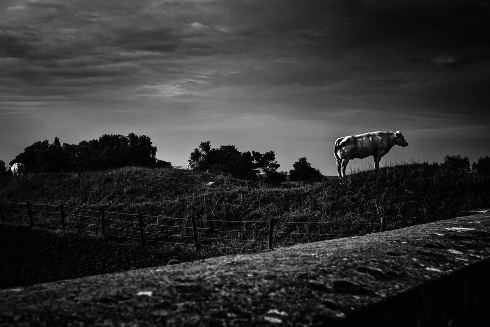 Rundskop staat er. Kijkt. Wacht. Rundskop heerst over de kudde. In de verte zie je links nog een andere B-stier weg druipen. Dit is de heuvel van Rundskop.