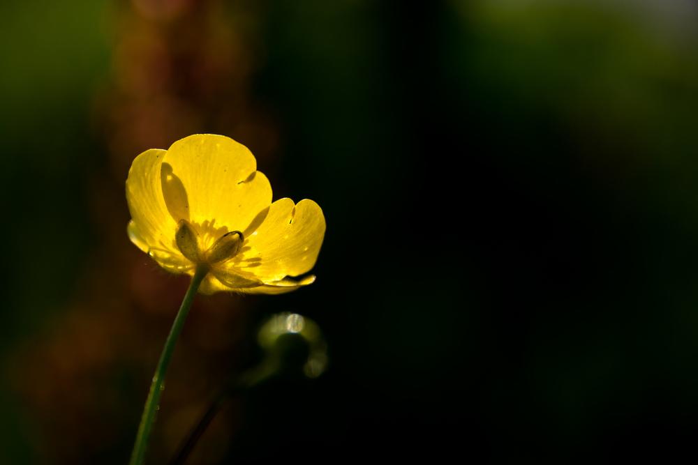 Een boterbloempje in tegenlicht.