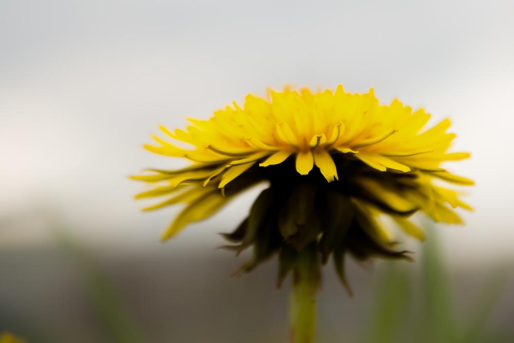 Voor deze foto moest ik plat op de buik. Een gele paardenbloem of ook wel pisbloem genoemd.