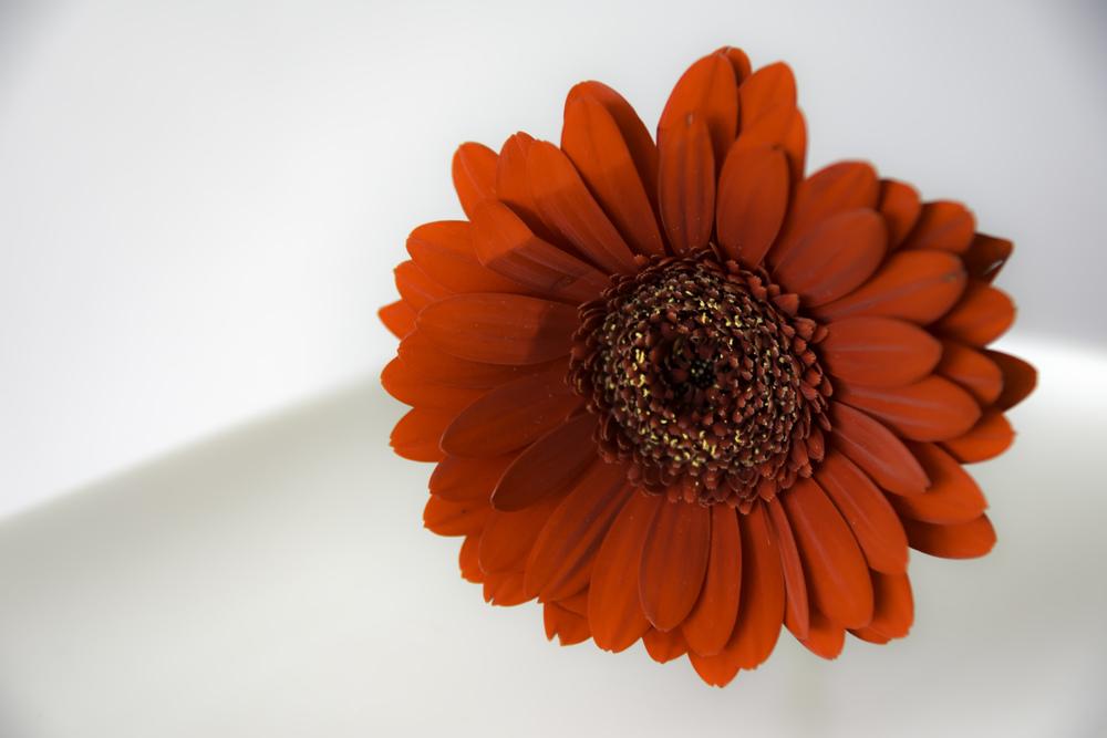 Rood is passie. Dat straalt deze bloem wel uit.