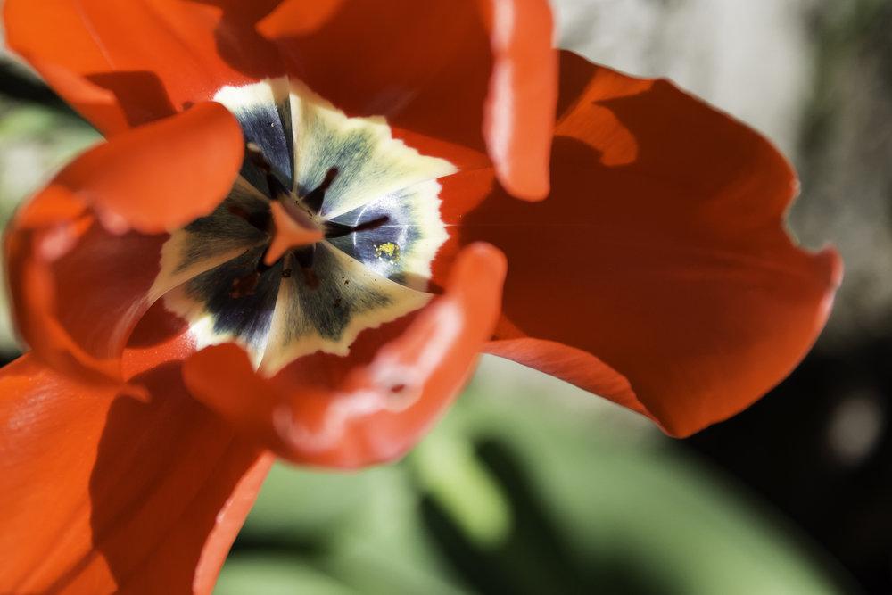viewfinder-lentebloesem-fotograferen-laaghangende-tulp-licht-kleur-rood