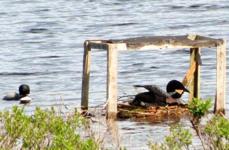 two loons and raft.jpg