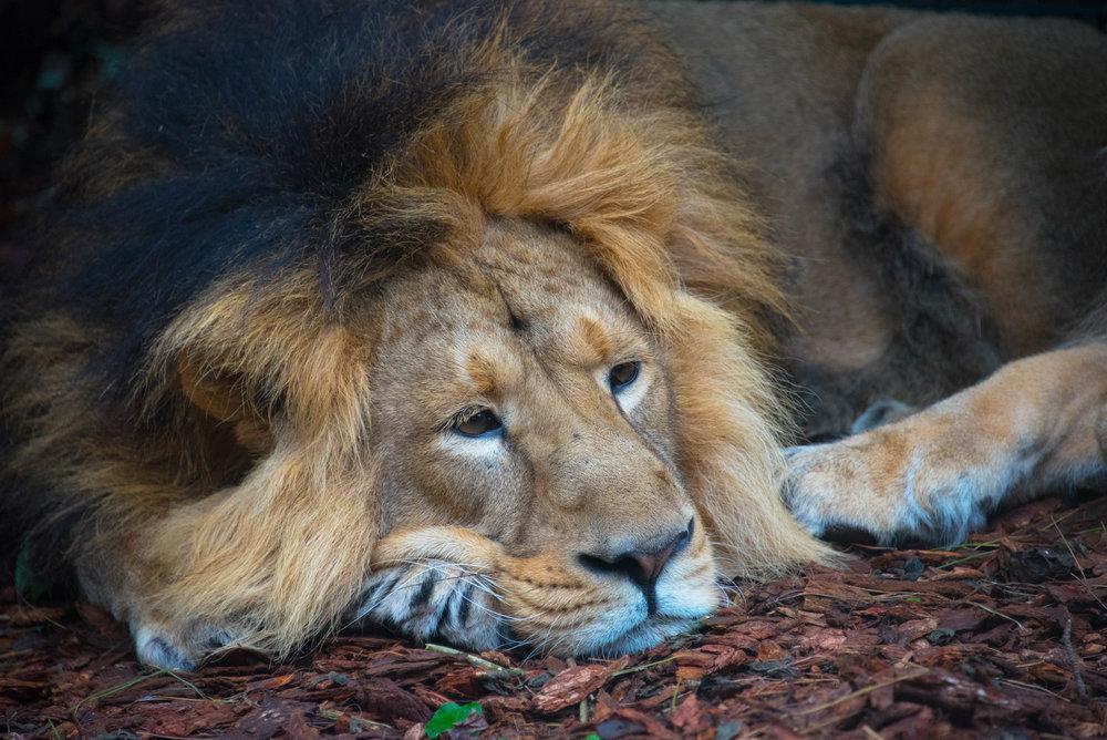 Ganske kjedelig å være løve i dyreparken
