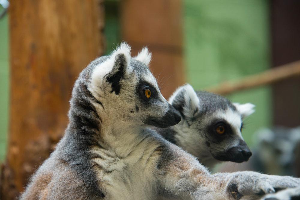 Lemurene virket litt mer fornøyde enn resten av Noahs ark