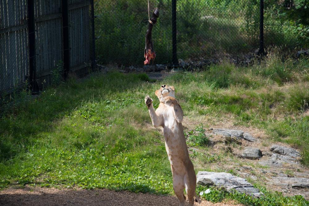 Lett lunsj til løven mens barna lurte på om det var et ordentlig hesteben...