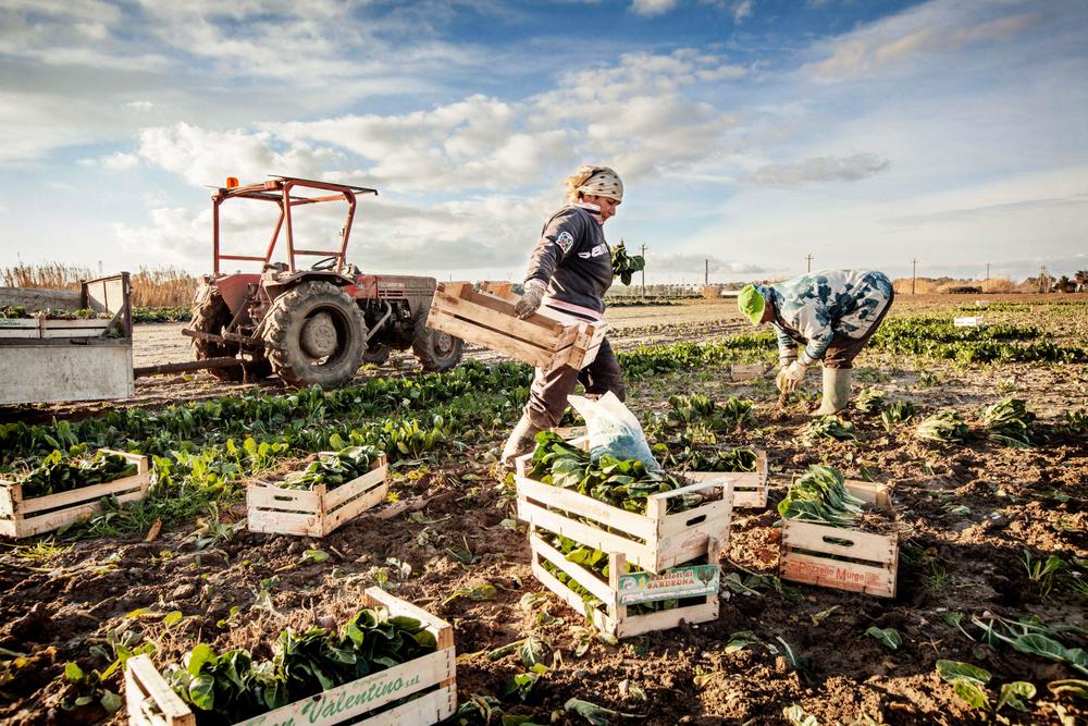 Agricoltori della valle galeria raccolgono bieta che verrà venduta nei mercati
