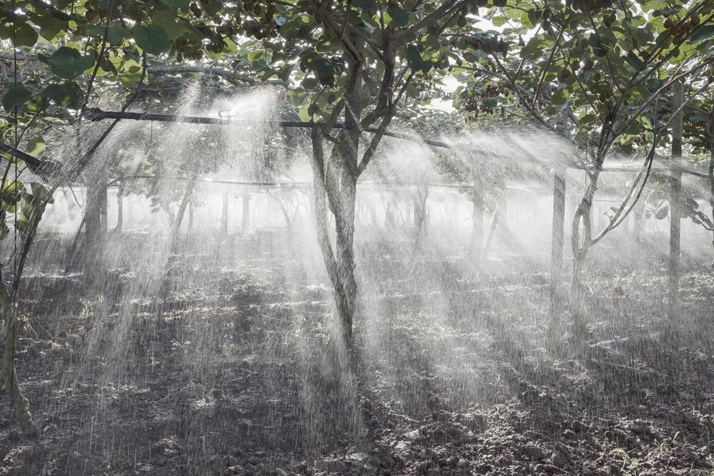 Coltivazione di kiwi durante l'irrigazione pomeridiana. Borgo Montello (LT), 2015.  L'Agro Pontino annovera tra le tante eccellenze la produzione di kiwi DOP. Alcune coltivazioni si trovano a meno di duecento metri dalla discarica, oltre il labile confine della Strada Monfalcone.
