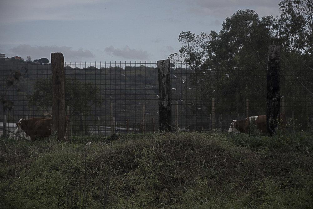 Pianura, Napoli, 2017. Mucche al pascolo su terreno contaminato situato a pochi metri dalla Discarica di Contrada Pisani.