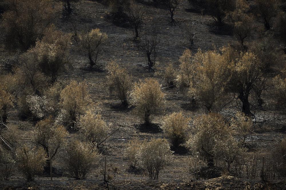 Niscemi (CL), Giugno 2017. Alberi incendiati all'interno della riserva naturale Sughereta di Niscemi. Ogni estate in Sicilia si verificano numerosi incendi che spesso colpiscono anche le aree protette. © Chiara Faggionato