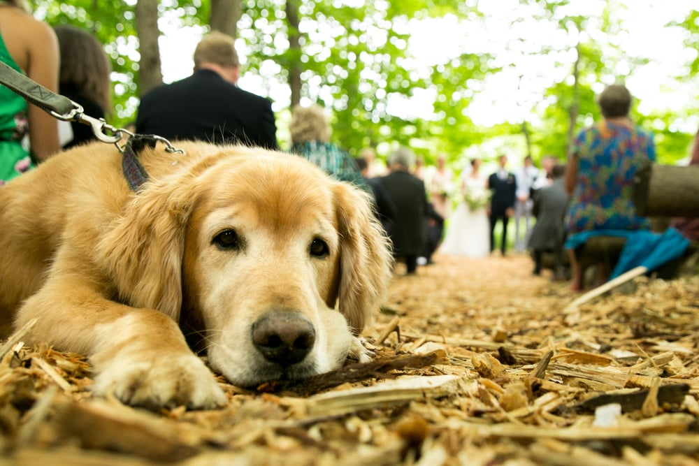 dog watches wedding ceremony