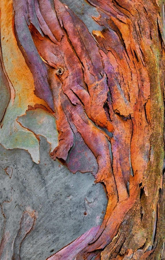 Eucalyptus Bark Detail 2425