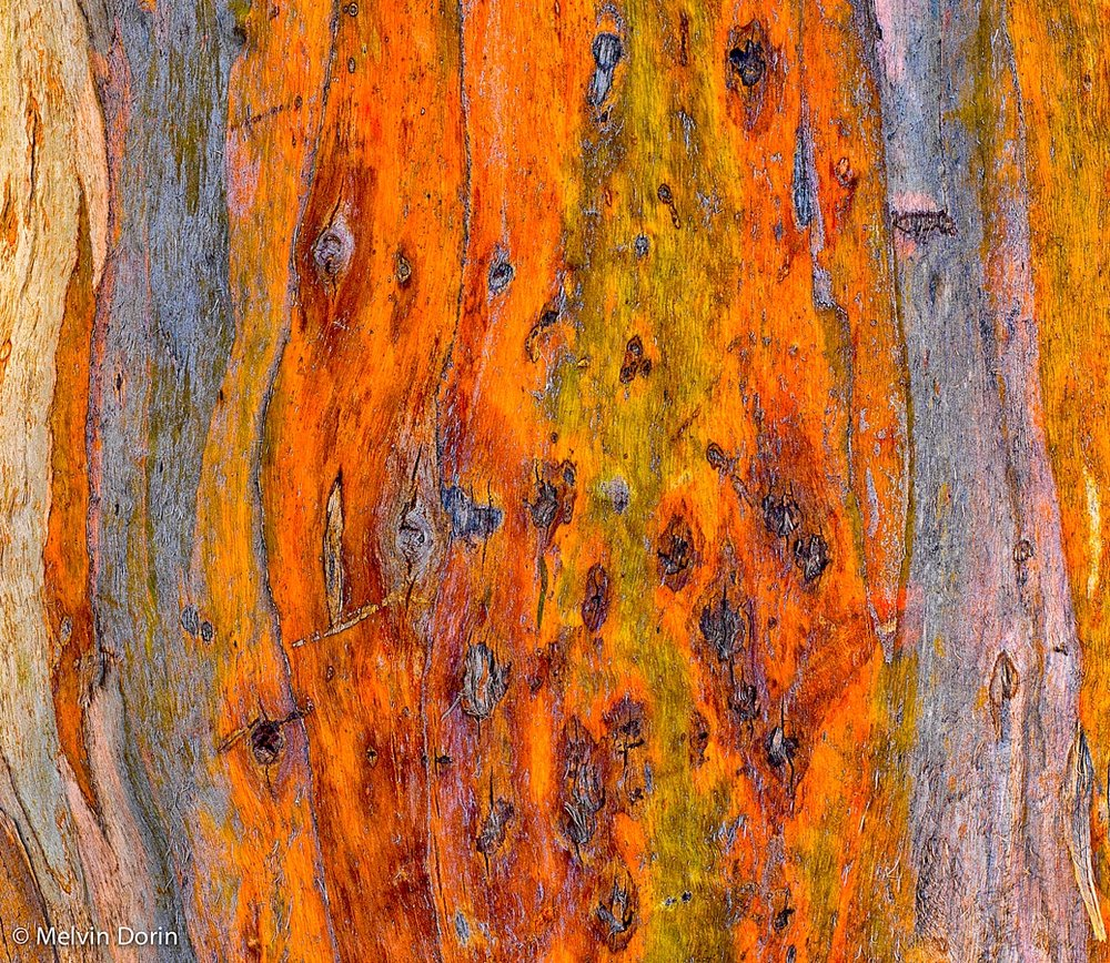 Detail, Eucalyptus Bark #2