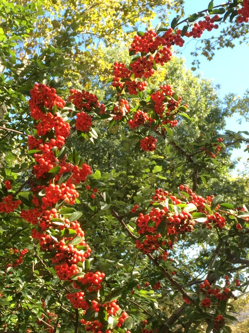 harvest fest 15 red berry tree