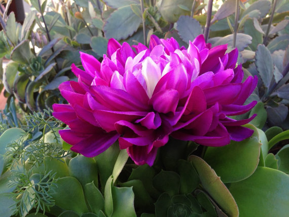 large hair flower - purple dahlia - Super Natural Flowers