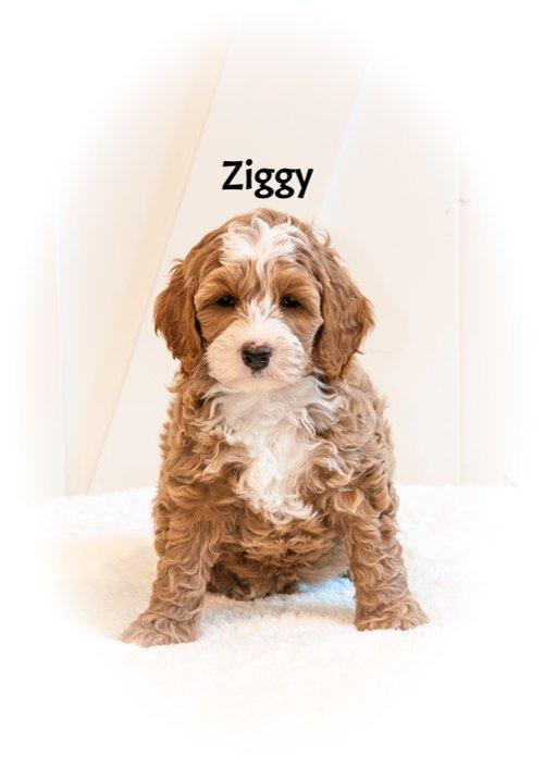 Ziggy+7+weeks.jpg