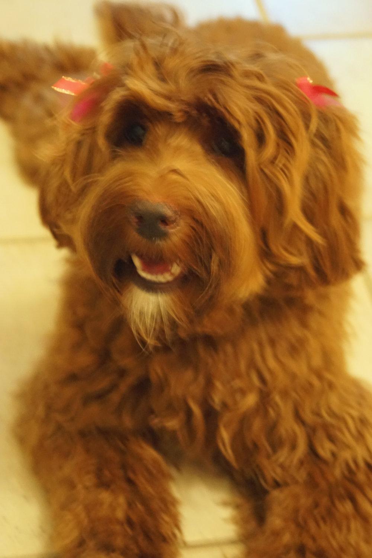 Bella after 1st grooming.jpg