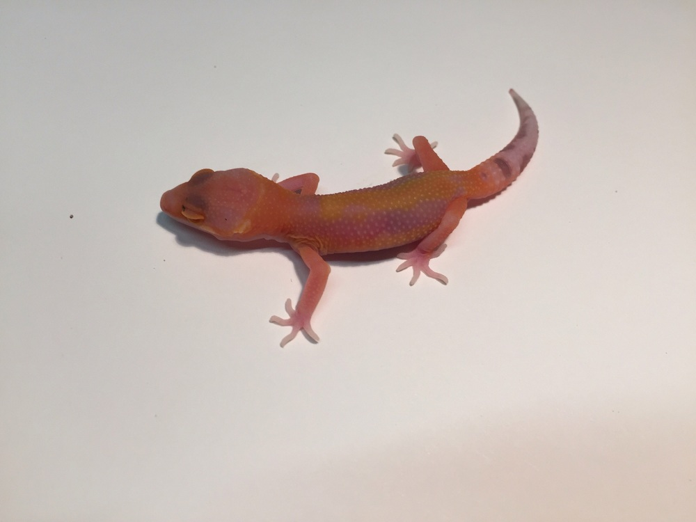 This RAPTOR has some lavender but what is really special is its very bright orange coloring