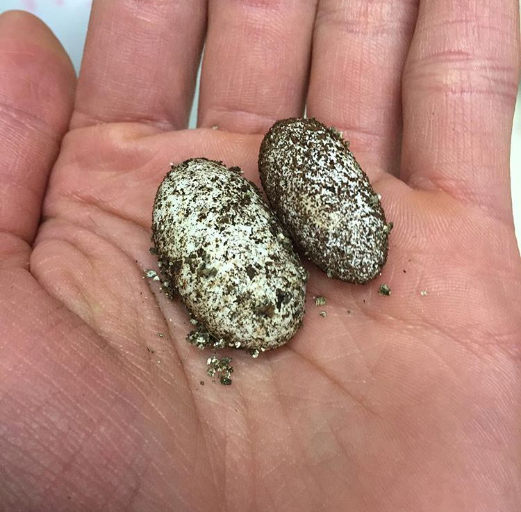 An Egg about to Hatch  (left)  A freshly laid egg  (right)