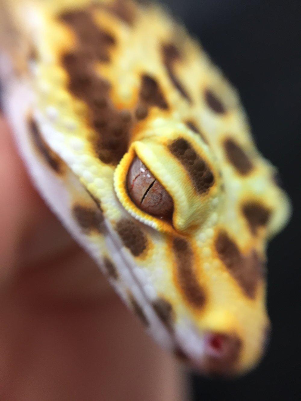 The eye of a tremper albino.