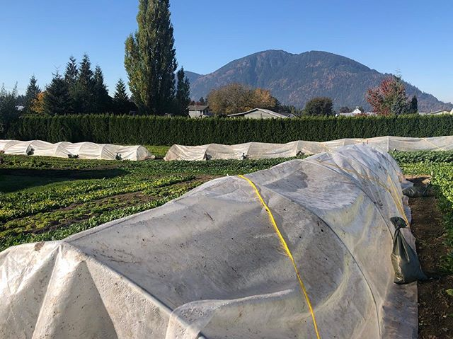 This weather 👌 + #chilliwack #abbotsford #fraservalley #thefraservalley #marketgarden #marketgardening #organicfarming #organicfarm #sustainablefarming #sustainablegardening #smallfarm #urbanfarm #growfoodnotlawns #knowyourfarmer #locallygrown #homestead