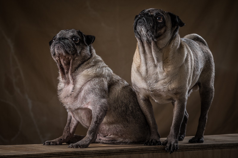 Eugene van der Merwe Photography pug rescue