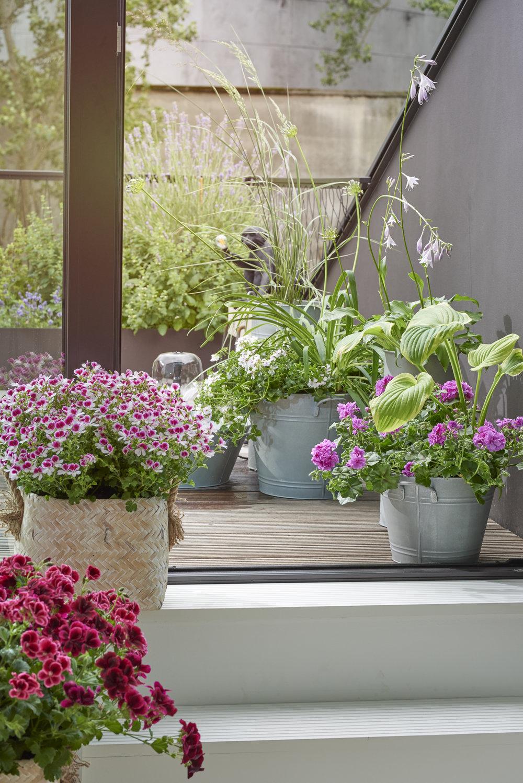 Foto:Blomsterfrämjandet/Pelargonium for Europe