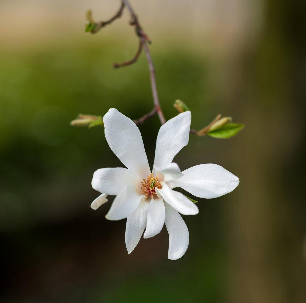 Den japanska magnolian, Kobus, har gräddvita blommor. Foto: Shutterstock