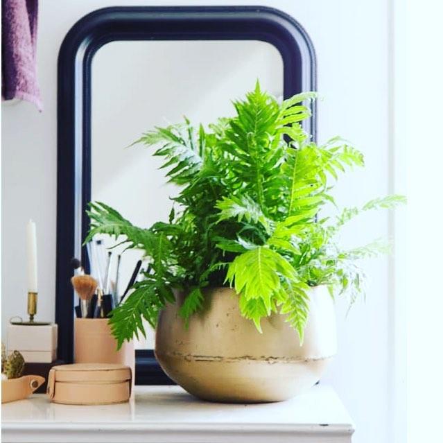Ormbunken och gullrankan trender 2019 enligt pressmeddelande från @blomsterframjandet Vi gillar att ta in mycket grönt Himma!👒🌱☀️#grönt #gröntärskönt #krukväxter #ormbunke