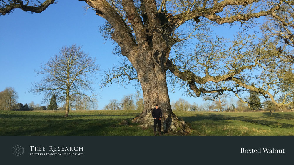 Two of my favourite ancient trees discussed during my talk
