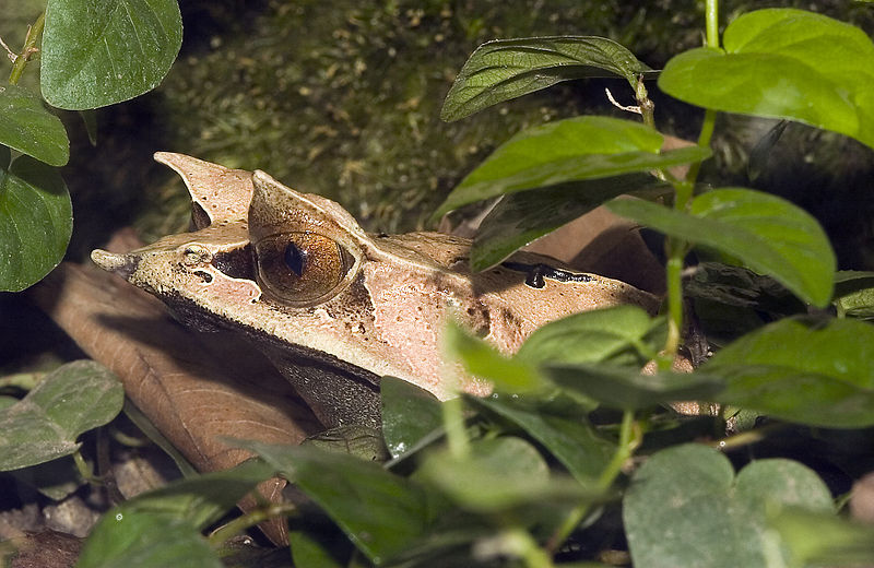 The Bornean Horned Frog - one of the species studied in the University of Sheffield study.