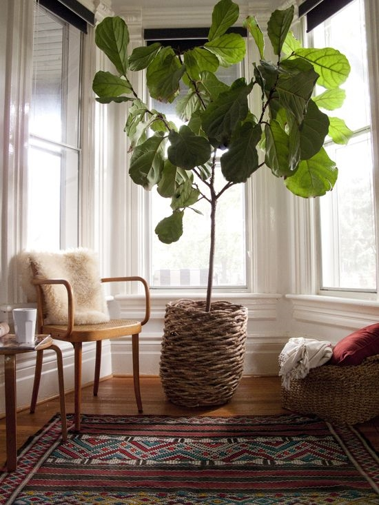 The (ever popular) Fiddle Leaf Fig via The Marion House
