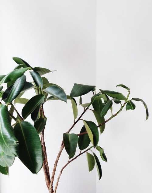 Maybe you hada braided Ficus in your house in 80s, don't let that stop you