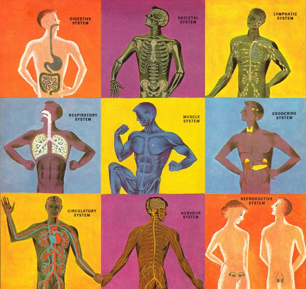 The Human Body  Illustration, 1959