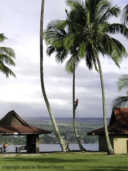 City worker removes palm fronds in Hilo Bay, on the Big Island