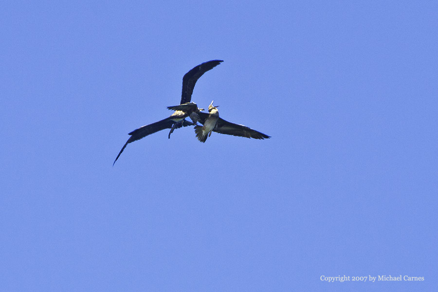 A red-footed boobie and a frigate bird fight over lunch