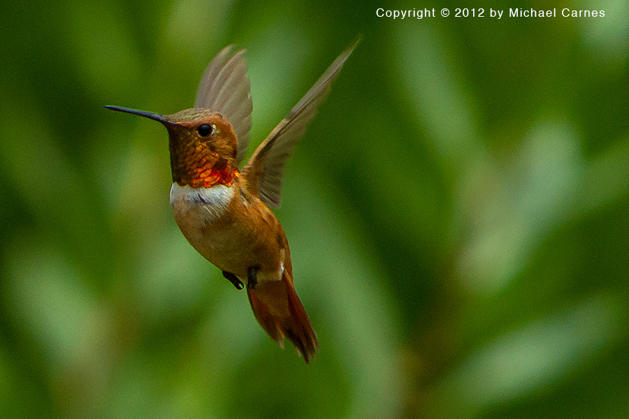 Male Rufous Hummingbird.  Tiny and aggressive.