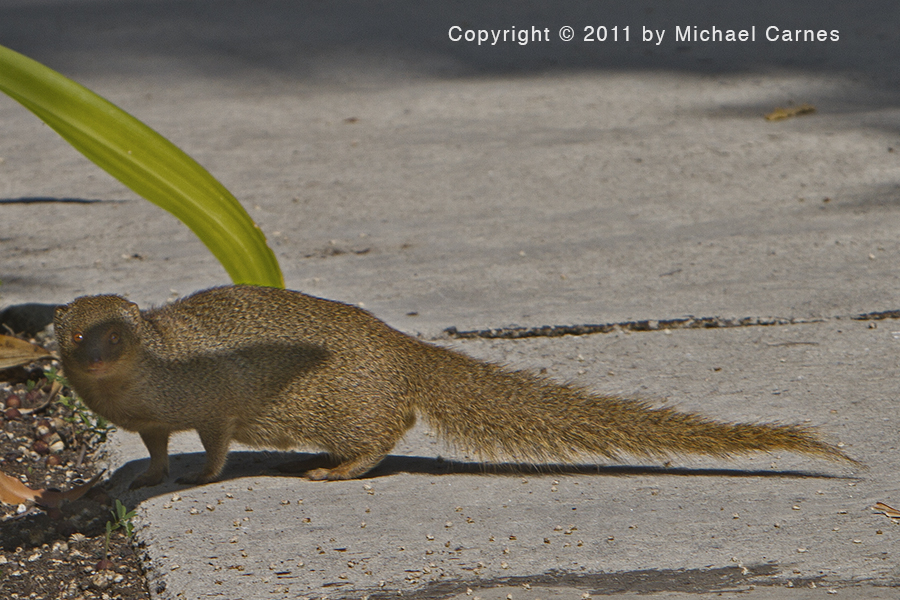 The mongoose is a small, fast predator. Since its introduction to Hawai'i it has destroyed many native birds.